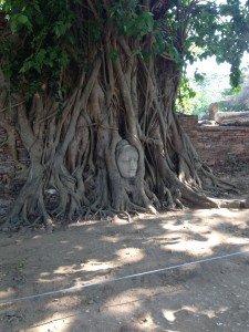 Tête en grès de Bouddha enchevêtrée dabs les racines d'un arbre